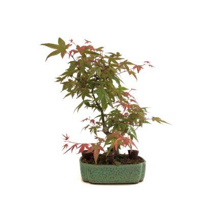 Bonsai arce maceta verde