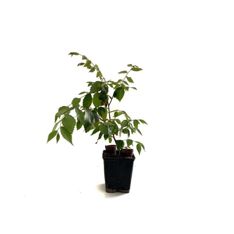 Plantón Olmo