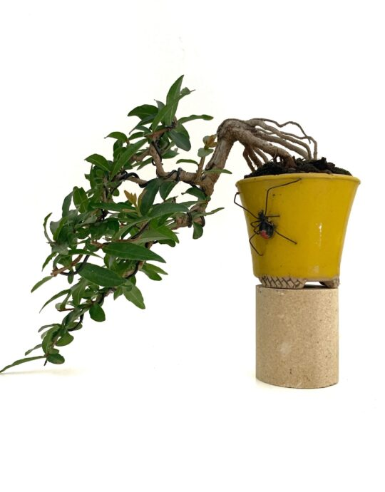 Bonsai mini granado
