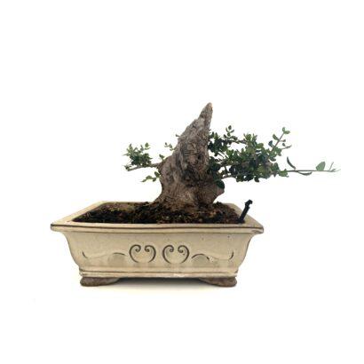Bonsai Acebuche