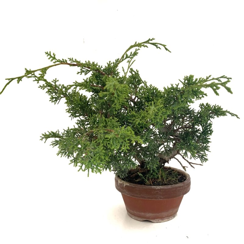 bonsái junípero