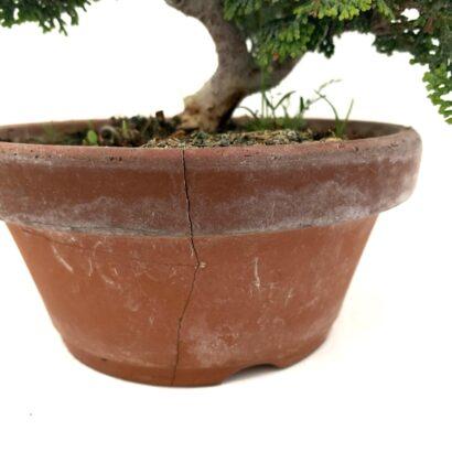 Bonsai junipero chamaecyparis