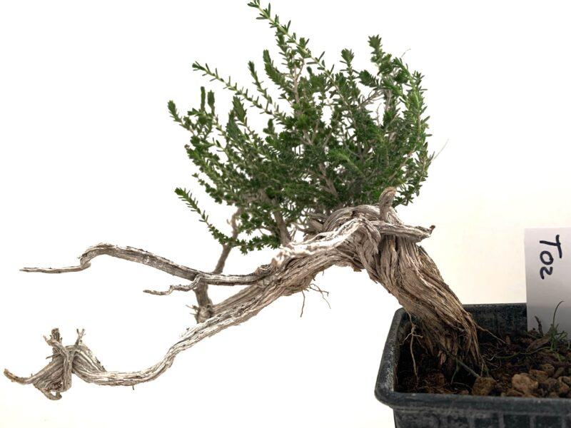 Tomillo bonsai